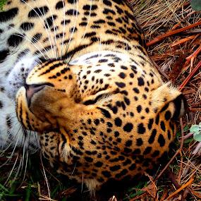 tired cat by Nicole Janse van Vuuren - Novices Only Wildlife