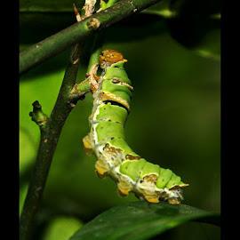 hore ... skg bs berdiri... by Yudha Adillasaputra  - Instagram & Mobile Instagram ( caterpillar, insect, macro, nature )