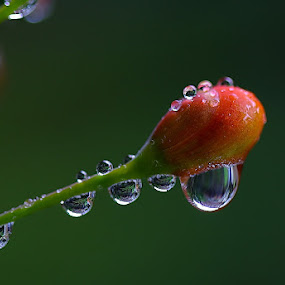dew by Ridwan Adhitama - Nature Up Close Flowers - 2011-2013