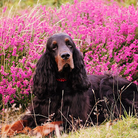 Misty by Ken Jarvis - Animals - Dogs Portraits ( gordon setter )