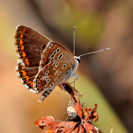 Southern Brown Argus by Ricardo Costa - Animals Insects & Spiders ( butterflies, lepidoptera, portugal )