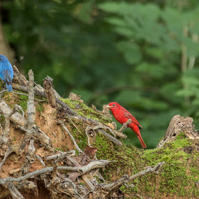 Patriotic Birds by Pennye Thurmond - Animals Birds ( red, memorial day, blue, nature, tree,  )