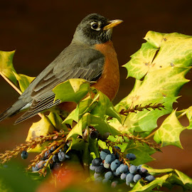 Rusty Robin by Jodi Iverson - Novices Only Wildlife