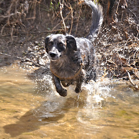 WATER!! YAY!! by Kristen O'Brian - Animals - Dogs Running ( water, sand, catahoula, creek, puppy, irish wolfhound, dog, run, running )