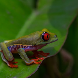 Red n Green by Abdus Alim - Animals Amphibians (  )