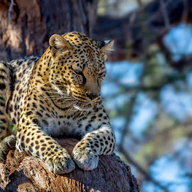 On the tree by Timo Bierbaum - Animals Lions, Tigers & Big Cats ( cat, nature, tree, wildlife, africa, leopard, namibia )