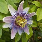 Passion flower / Mučenka