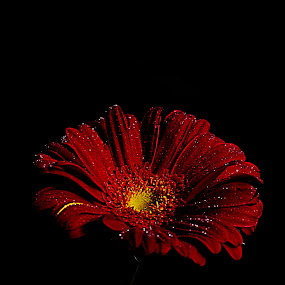 For Lady in Red by Shikhar Srivastava - Nature Up Close Flowers - 2011-2013