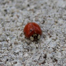 Lonely Lady  by Kathy Psencik - Novices Only Macro ( no spots, in the garden, bug, ladybug, lady bug )
