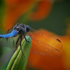 vretenac iz Maksimira by Dunja Kolar - Animals Insects & Spiders ( maksimir, croatia, zagreb, vretenac )