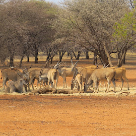 Waterhole by Johan Henning - Novices Only Wildlife ( sand, drinking, background, dust, bush )