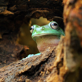 Out of hiding by Kurit Afsheen - Animals Amphibians ( frog, green, tree frog, amphibian, cute, animal )