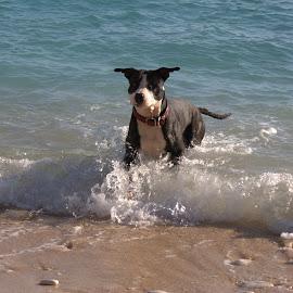 Ares 2 by Danijel Andreas Ivanek - Animals - Dogs Playing ( pitbull, dog portrait, pit bull, dog playing, dog )
