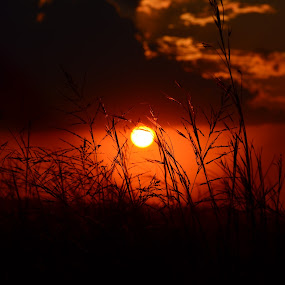 Firey Veld Grass by Jared Van Bergen - Nature Up Close Leaves & Grasses ( photos, grass, sunset, veld, sun, photography )