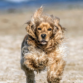 Buddy by Harold Blum - Animals - Dogs Running ( sand, dogs, color, fur, beach, paws, running )
