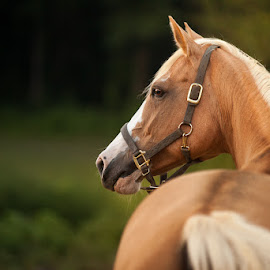 All That Glitters by Kristina Truluck - Animals Horses ( palomino, animals, equine, horses, md, outdoors, gambrills, maryland, quarter horse, beech grove farm, portrait )