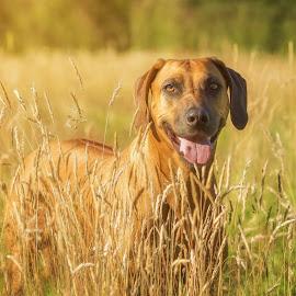 Ridgeback in Golden Hour by Linda Johnstone - Animals - Dogs Portraits ( field, ridgeback, rhodesian ridgeback, grass, dog, wheaten, golden hour )