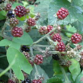 Blackberries Aren't Just Phones by Gareth Evans BA Hons - Nature Up Close Other plants