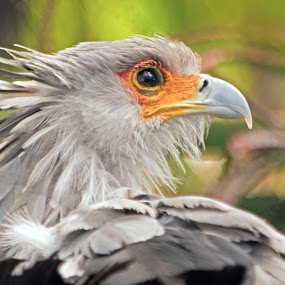 Mr. Secretary by Joanne Burke - Animals Birds ( bird, macro, zoo, colorful, secretary bird )