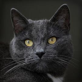 Frodo by Jane Bjerkli - Animals - Cats Portraits ( expression, cat, pet, yellow, black, portrait, eyes, animal )