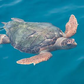Loggerhead Turtle  by Marcia Gain - Animals Sea Creatures