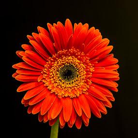 Gerbera by Rajeev Krishnan - Flowers Single Flower ( flower up close, flower nature, flower head, flowers, gerbera, flower photography, flower,  )