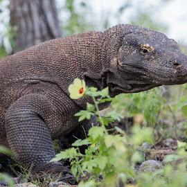 Komodo Dragon by Leonardus Nyoman - Animals Reptiles ( lizard, indonesia, dragon, wildlife, komodoisland, komodo, phototours, photography, destination )