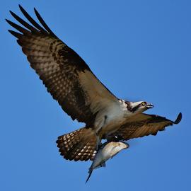 Osprey with fish by Joe Saladino - Animals Birds ( florida, fish, raptor, bifd, osprey )
