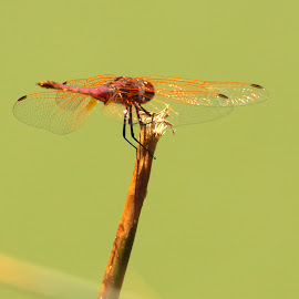 Golden Winged by Christo W. Meyer - Novices Only Wildlife ( dragonfly )