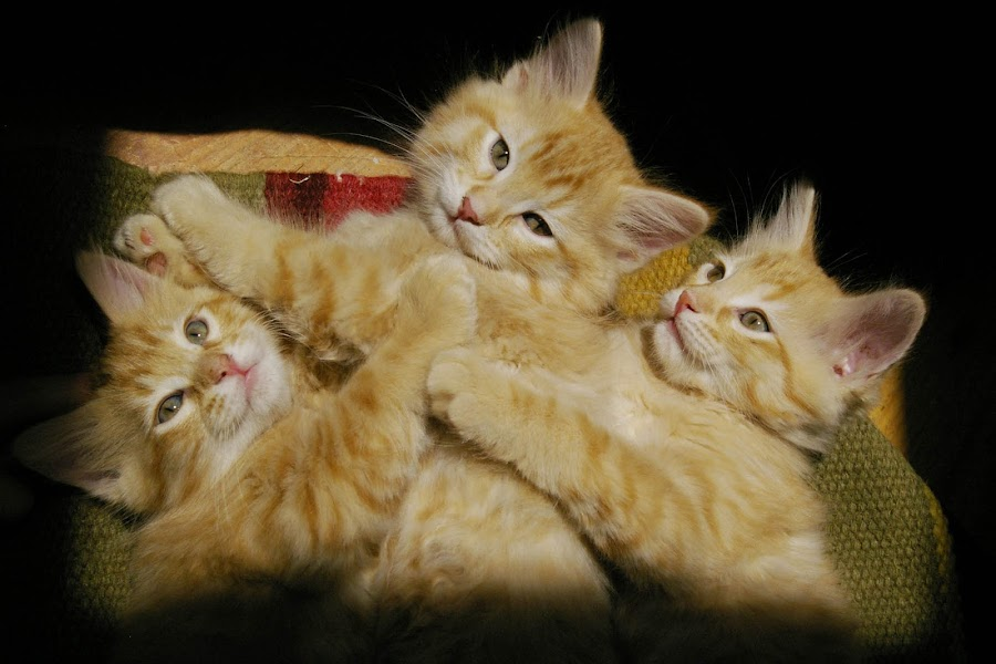 Three little kittens by Catherine Beason - Animals - Cats Portraits
