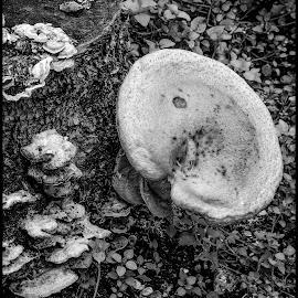 Mushrooms by Dave Lipchen - Black & White Flowers & Plants ( mushrooms )