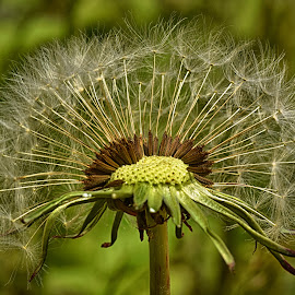 Half Moon by Marco Bertamé - Nature Up Close Other plants ( dandelion, green, seed )