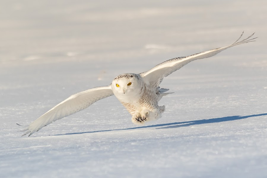 harfang 2018-02-02-6 by Jocelyn Rastel-Lafond - Animals Birds ( oiseau, bird, flying, winter, chouette, snow, wite, wildlife, harfang, snowy owl, birds, animal )