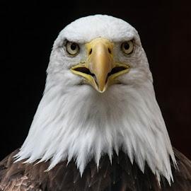 Sam stare by Garry Chisholm - Animals Birds ( bird, garry chisholm, eagle, nature, wildlife, prey, raptor, bald )