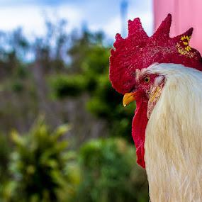 I call him Spot. by Bill MacLachlan - Animals Birds ( chicken, bird, farm, rooster, animal )
