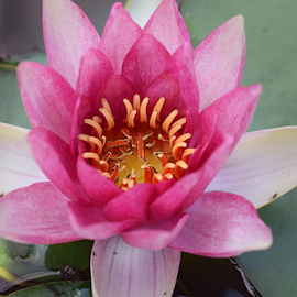 beautiful pink water lilly in my pond by LADOCKi Elvira - Flowers Single Flower ( pond, flowers, nature, plants, garden, water, lilly )