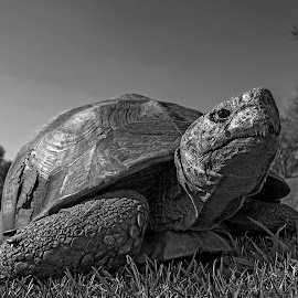 The Old Man by Bradwin Adendorff - Black & White Animals ( wild, old, animals, african, black and white, creature, beautiful, wildlife, beauty, close up, impact, close, story, tortoise, wilderness, ancient, nature, wide angle, reptile, africa, natural, animal,  )