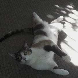 Karma in the sun by Christina McGeorge - Animals - Cats Playing ( calico, cat )