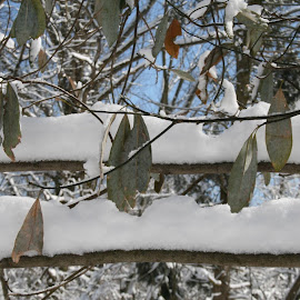 Snowy branches by Dianne Collins - Nature Up Close Leaves & Grasses