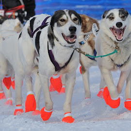 Race by Tomasz Budziak - Sports & Fitness Snow Sports ( animals, dogs, running,  )