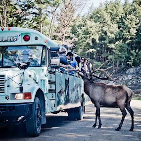 Visit the zoo by Thierry Madère - News & Events World Events ( bus, zoo, parc omega, wapiti, omega )