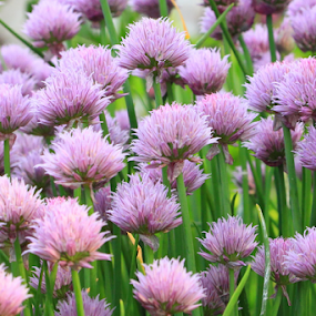 Chives In Full Bloom by Brian Robinson - Nature Up Close Gardens & Produce