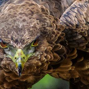 Juvenile Bateleur eagle (Terathopius ecaudatus)4 by Ian Flear - Animals Birds
