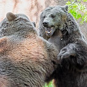 Bear Fighting by Lajos E - Animals Other Mammals ( ursid, bear, arctos, playing, predator, carnivore, european, wrestling, play, ursus, brown, fighting, ursidae,  )