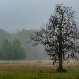 Morning Fog by Robert Willson - Landscapes Prairies, Meadows & Fields ( zephyranthes atamasca, old world, atamasco lily, us, morning, atamasco, field, dead oak, lily, fog, florida, oak, dead )