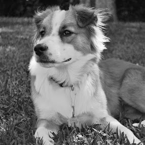 Observant Rocky by Roger White Jr. - Uncategorized All Uncategorized ( border collies, dogs, black and white,  )