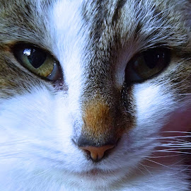 Nancy by Tracey Yappa - Animals - Cats Portraits ( cat, white, fur, tabby, eyes )