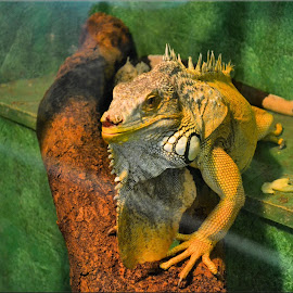 by Nic Scott - Animals Reptiles ( iguana )