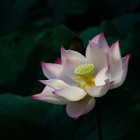 200808200924 by Steven De Siow - Nature Up Close Flowers - 2011-2013 ( lotus, flower )