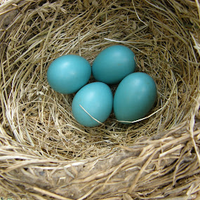 4 Robin's Eggs by Rita Goebert - Nature Up Close Hives & Nests ( robin eggs; nest; beacon hill rv resort; ronks; pennsylvania; may;,  )